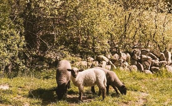 Moutons dans un jardin