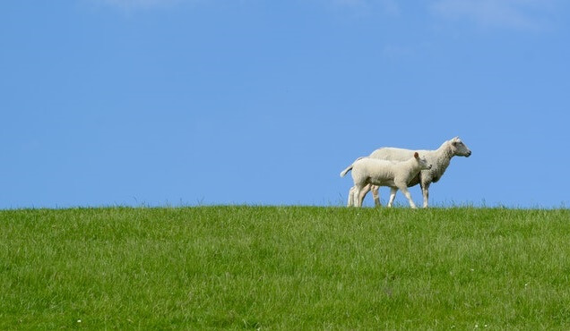 Moutons dans un pré