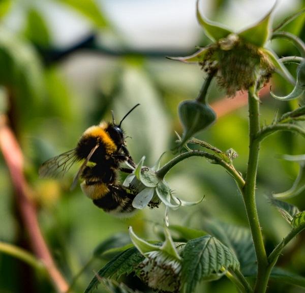abeille sur un fraisier
