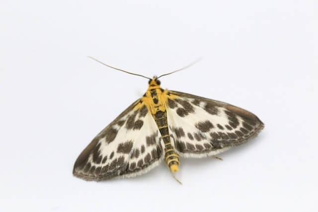 Papillon de nuit hétérocère