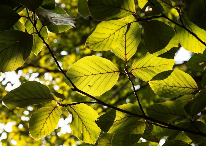 feuilles d'un hêtre