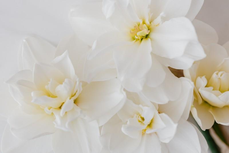 fleurs de narcisses