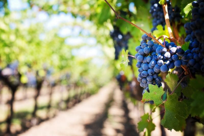 ligne de vignes avec une grappe de raisins