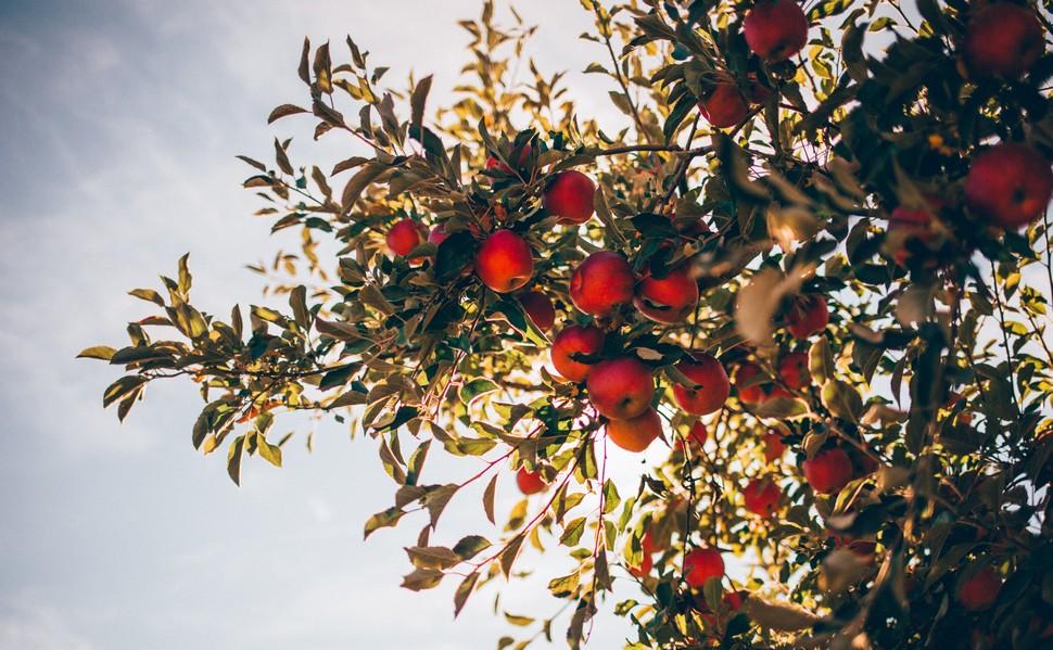 pommier avec des pommes sur les branches